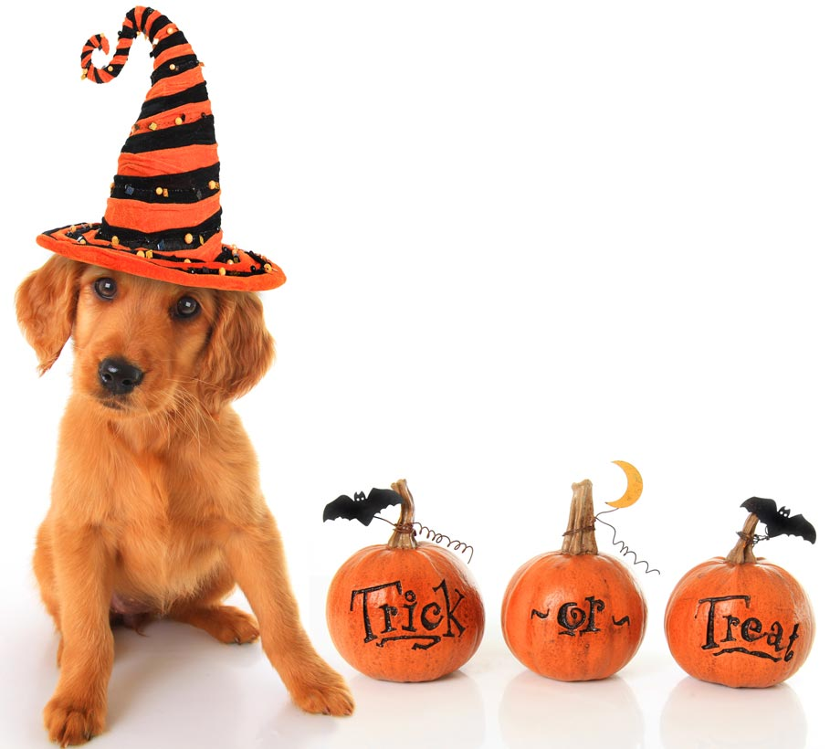Halloween can be more dangerous for dogs than other times.