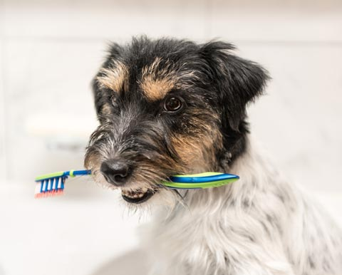 Home dental care is crucial for good pet health.