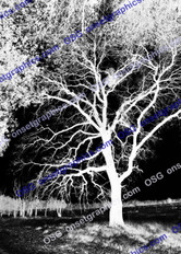 TREE BLACK AND WHITE INVERTED