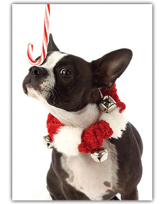 boston terrier holiday card set
