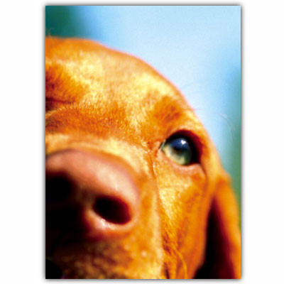 Chocolate Lab Condolences Card