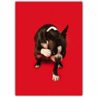 Boston Terrier Belated Birthday Card