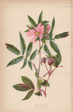 Swamp Rose Rosa Carolina Botanical Print Meehan 1879