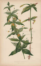 Four Leaved Loosestrife Lysimachia Quadrifolia Botanical Print Meehan 1879