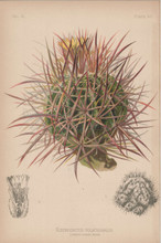 Many Headed Hedgehog Cactus Echinocactus Polycephalus Botanical Print Meehan 1879