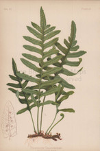 Californian Polybody Polypodium Californicum Botanical Print Meehan 1879