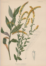 Elm Leaved Golden Rod Solidago Ulmifolia Botanical Print Meehan 1879