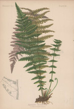 Sierra Nevada Shield Fern Aspidium Nevadense Botanical Print Meehan 1879