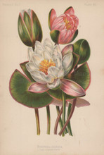 Sweet Scented Water Lily Nymphea Odorata Botanical Print Meehan 1879