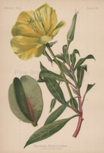 Large Fruited Evening Primrose Oenothera Missouriensis Botanical Print Meehan 1879