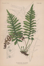 Sickle Leaved Polypod Liquorice Fern Polypodium Falcatum Botanical Print Meehan 1879