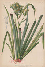 Wool Flower Lachnanthes Tinctoria Botanical Print Meehan 1879