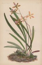 Veined Tree Orchis Epidendrum Venosum Botanical Print Meehan 1879