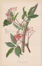 Red Berried Elder Sambucus Pubens Botanical Print Meehan 1879