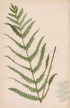 Common Chain Fern Woodwardia Virginica Botanical Print Meehan 1879