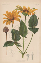 False Sunflower Heliopsis Laevis Botanical Print Meehan 1879
