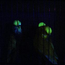 don-burkes-glow-budgies-show-budgies-250.jpg