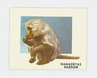 1951 Animals of the World 145 Hamadryas Baboon Excellent Grey Back