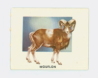1951 Animals of the World 167 Mouflon Excellent Grey Back