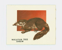 1951 Animals of the World 182 Malayan Tree Shrew Excellent Grey Back