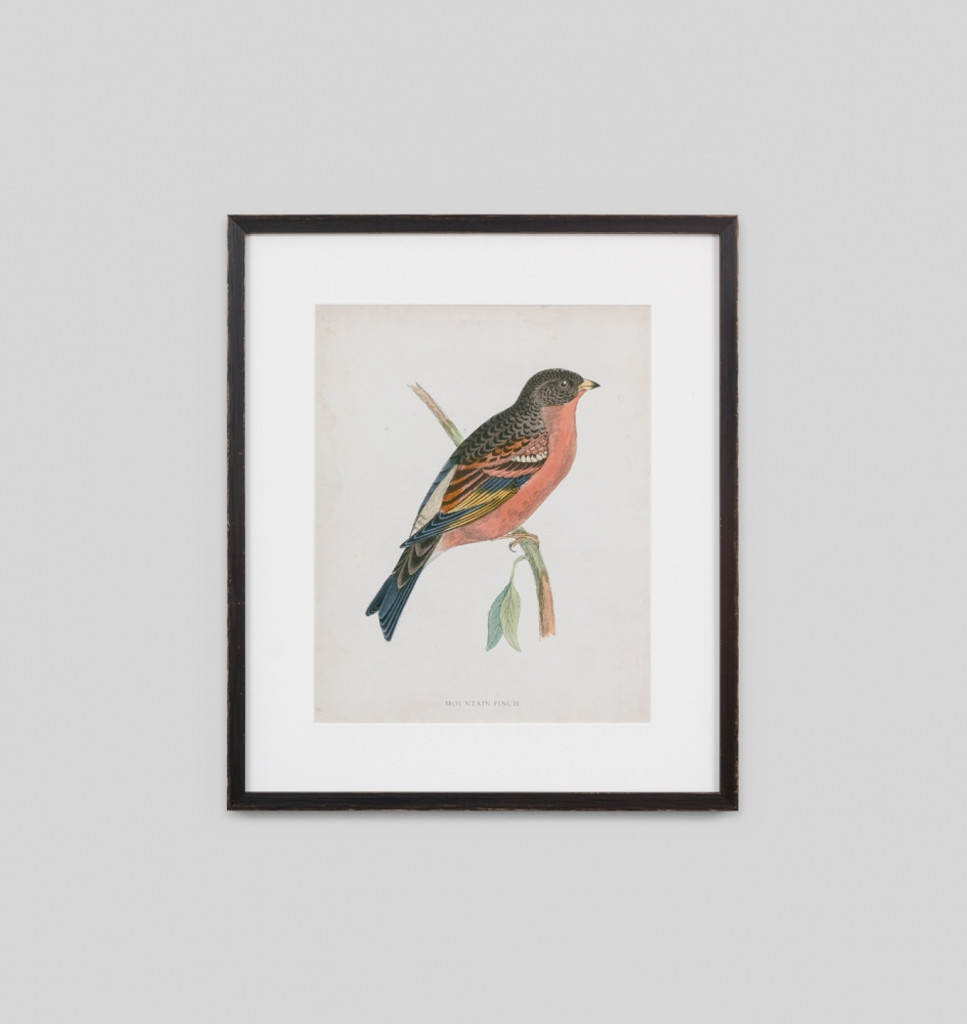 Morris Mountain Finch