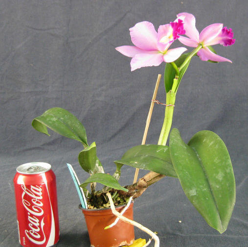 minature-cattleya.jpg