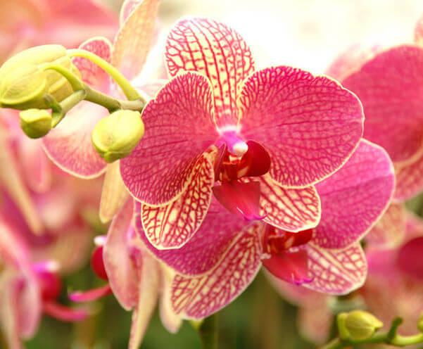phalaenopsis3.jpg