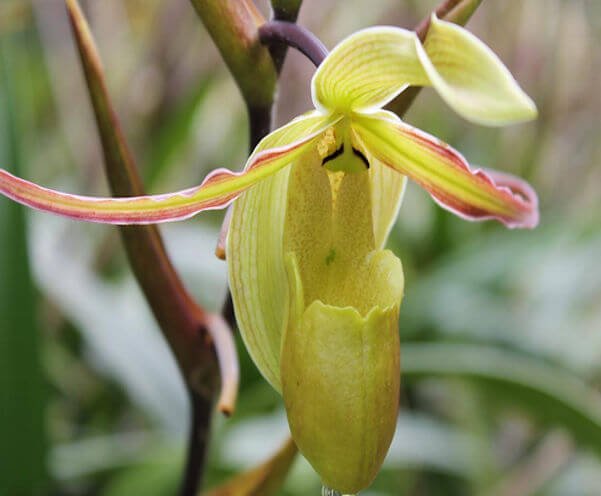 phragmipedium2.jpg