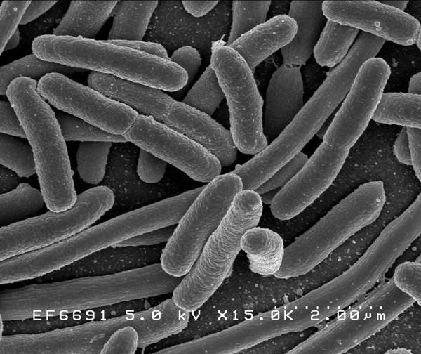 HME63 E. coli strain for Recombineering