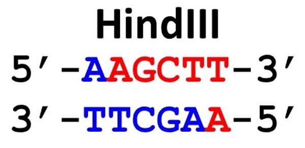 Restriction Enzyme HindIII 50uL