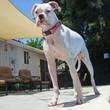 Alpha Dog Tactical Collar, pink camo