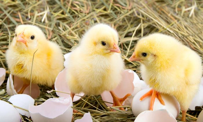 Duncan S Poultry Baby Poultry And Poultry Supplies