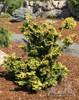 Dwarf Japanese Hinoki Cypress