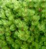 Banshosho Dwarf Japanese Black Pine
