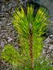variegated Japanese Black Pine