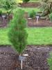 Pinus nigra ' Komet ' Dwarf Austrian Pine