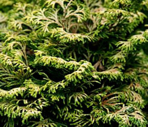 Golden Nymph  Dwarf Japanese Hinoki Cypress