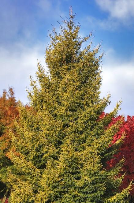 Skylands Oriental Spruce