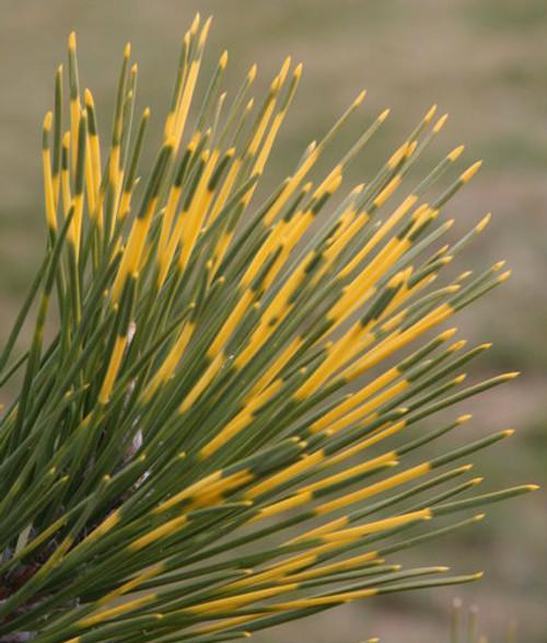 Pinus thunbergiana Shirome janome Variegated Japanese Black Pine