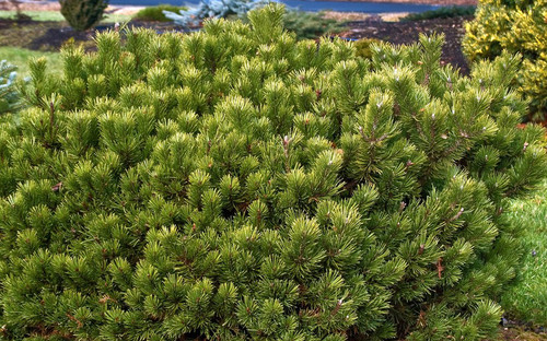 White Bud Mugo Pine