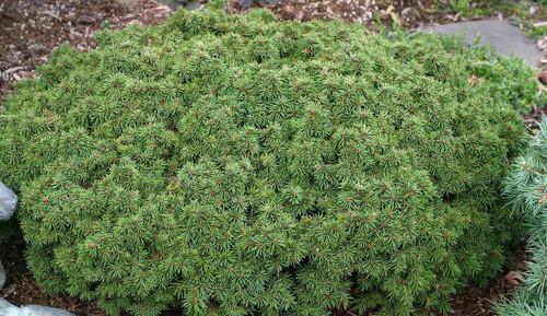 Picea abies Thumbelina Miniature Alberta Spruce