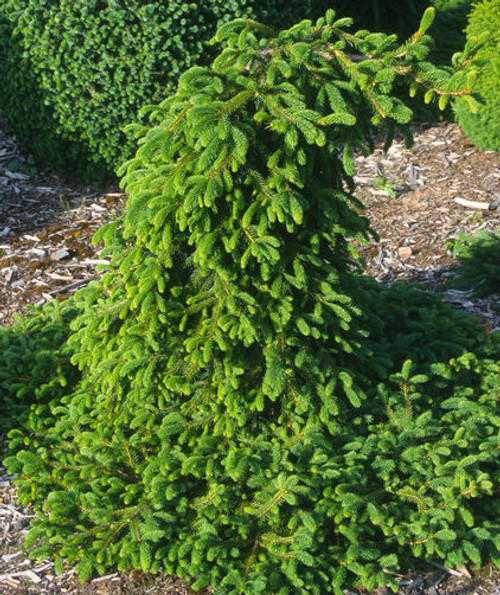 Picea abies Farnsburg Weeping Norway Spruce