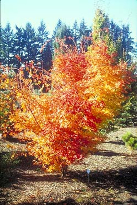 Acer palmatum 'Beni kawa' Coral Bark Japanese Maple Tree