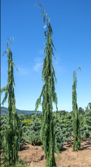 S 90 3 >> Chamaecyparis nootkatensis ' Strict Weeping ' Weeping ...