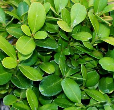 buxus microphylla var japonica morris midget