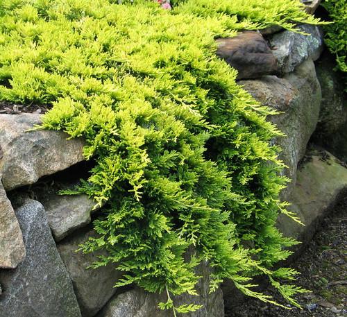 juniperus horizontalis 39 mother lode 39 dwarf golden creeping juniper kigi nursery