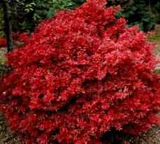 acer palmatum 39 shaina 39 red japanese maple tree kigi nursery. Black Bedroom Furniture Sets. Home Design Ideas
