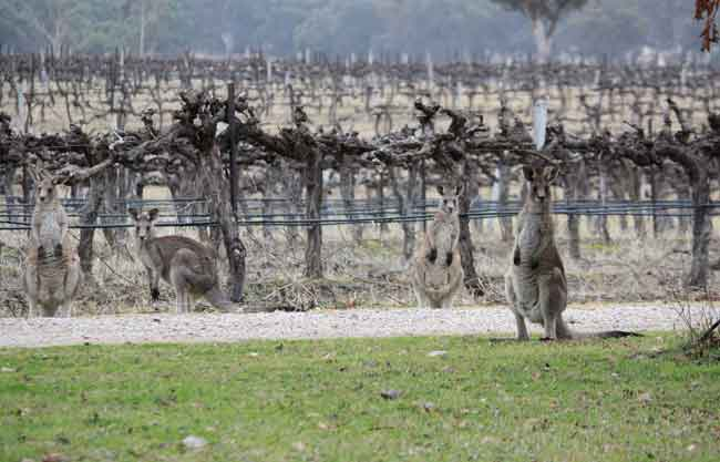 Roos in the vineyard