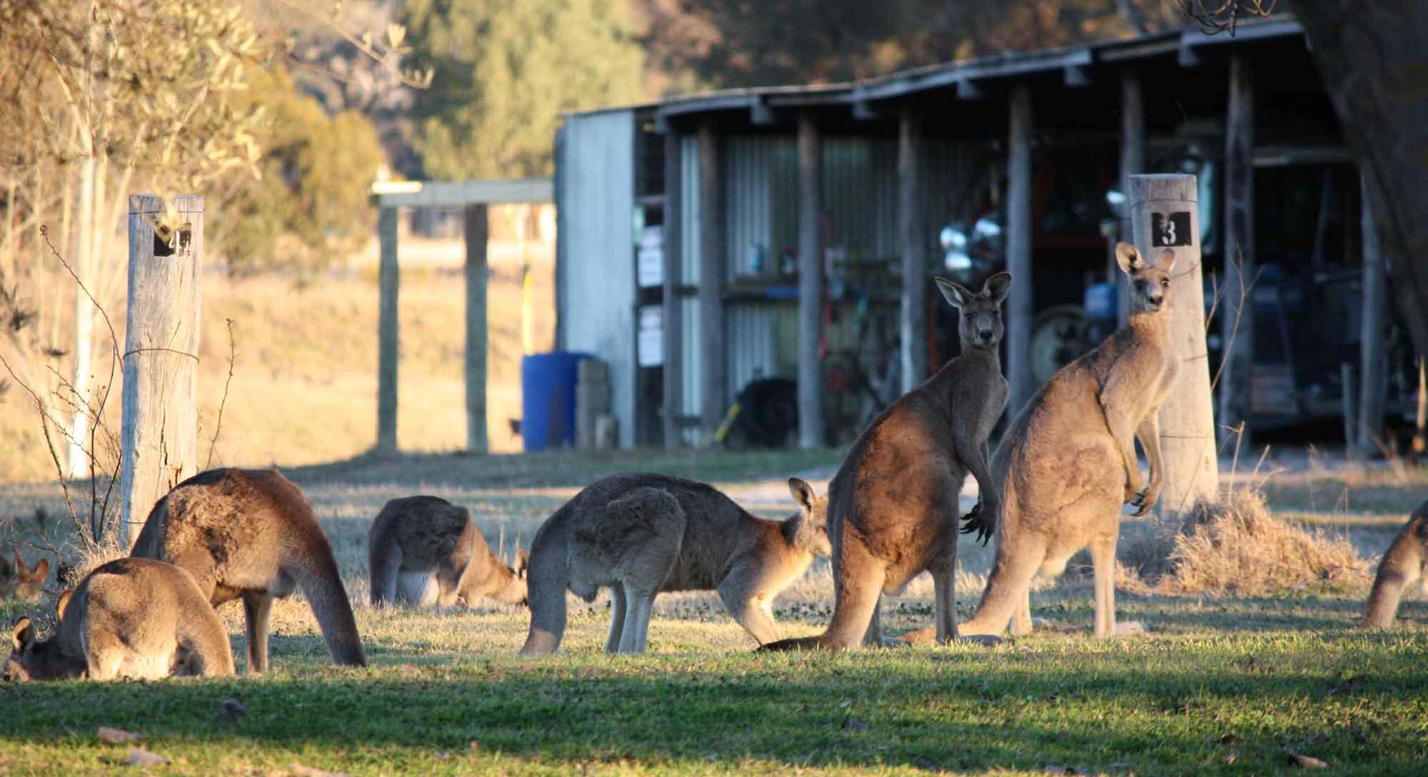 Kangaroos in the vineyard