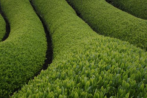 What is matcha? - tea garden